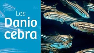 Danio rerio · El pez CEBRITA 🦓
