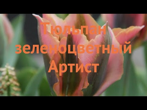 Тюльпан обыкновенный Артист (tulipa tyulpan) �� Артист обзор: как сажать, луковицы тюльпаны Артист