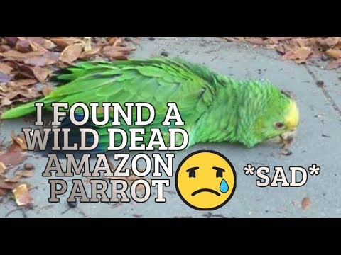 I FOUND HALF DEAD BIRD BODY IN THE DRIVEWAY  **emotional** Double Yellow head Amazon