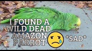 I FOUND HALF DEAD BIRD BODY IN THE DRIVEWAY  **emotional** Double Yellow head Amazon