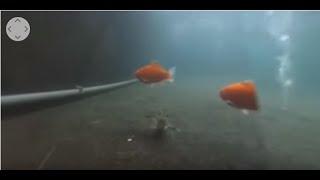 【360度影片】走!到釣蝦池底看高手釣蝦!