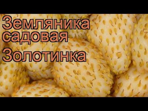 Земляника садовая Золотинка (fragaria ananassa) 🌿 обзор: как сажать, рассада земляники Золотинка