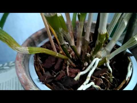 Орхидея Дендробиум Нобиле. О новых побегах и цветении. Январь..