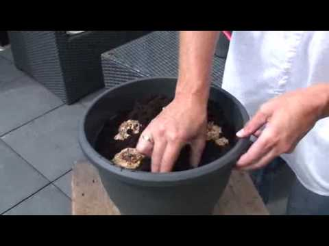 How To Plant Calla Lilies Zantedeschia Youtube