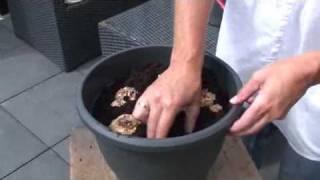 How to Plant Calla Lilies (Zantedeschia)
