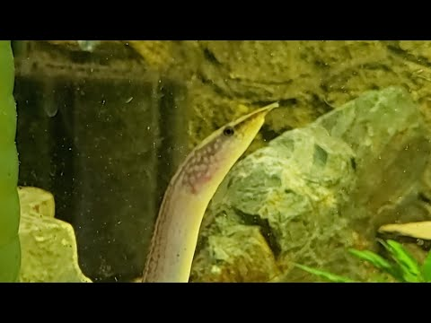 Feeding Freshwater Eel Bloodworms