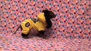 Той-терьера щеночки, прет а порте мода 2012