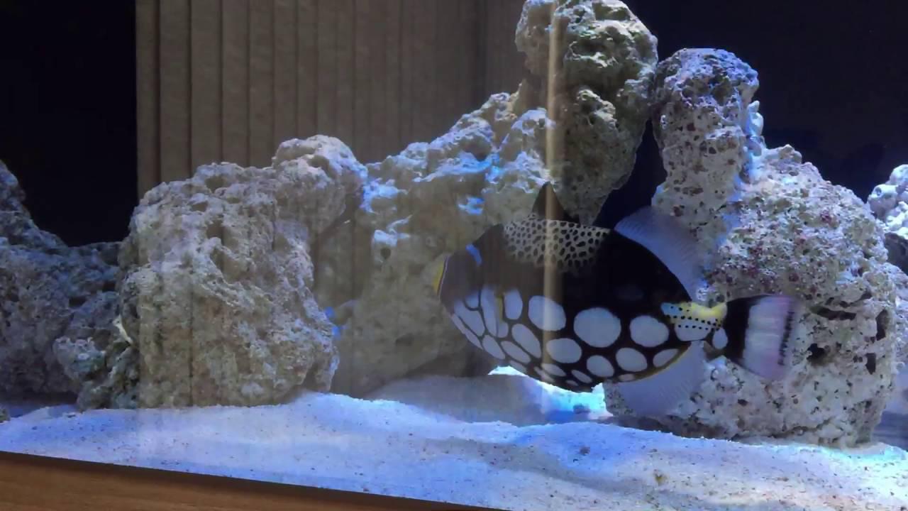 large clown triggerfish undulated triggerfish youtube