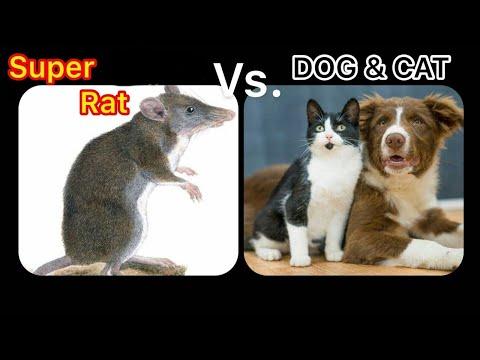 Rat vs cat & dog ÷ Funny Cat Memes Compilation October 2020