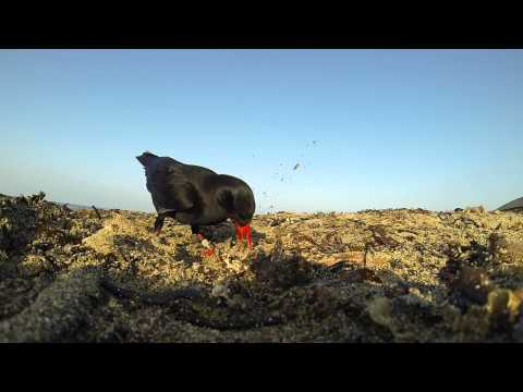 Choughs of Bardsey