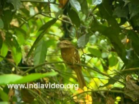 Camouflaged Sri Lankan Frogmouths or Batrochostomus Moniliger