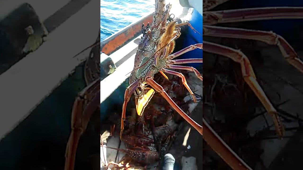 Resultado de imagem para lagosta na mao