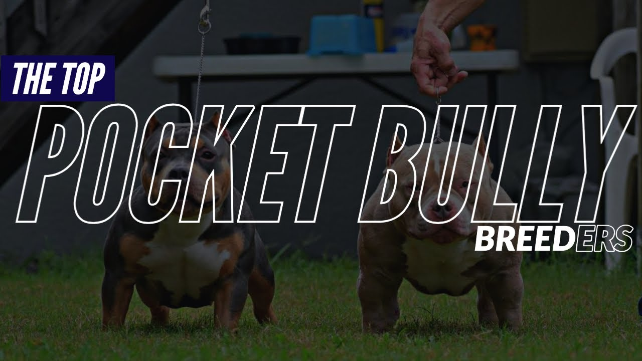 THE BEST POCKET AMERICAN BULLY BREEDERS