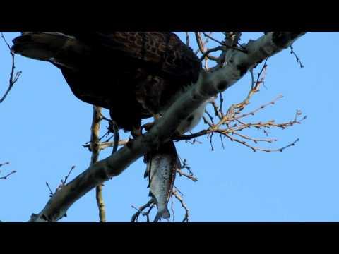 Bald Eagle at Conowingo Dam Maryland -12/23/2012