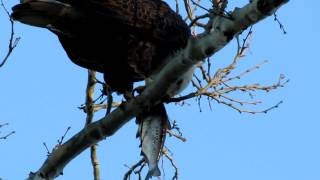 Bald Eagle at Conowingo Dam Maryland -12/23/2012
