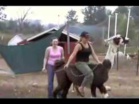 ride a lama