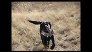 Лабрадор-ретривер в поиске и подаче дичи на охоте