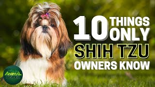 10 Things Only Shih Tzu Dog Owners Understand