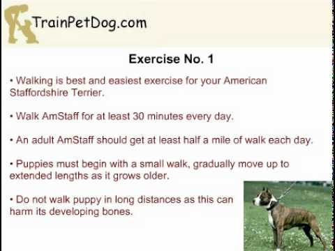 Exercising Your American Staffordshire Terrier