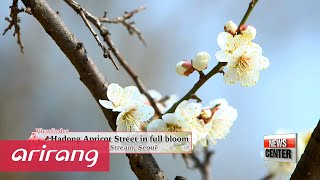 Viewfinder _ Hadong Apricot Street in full bloom