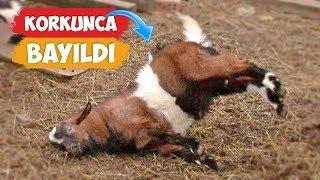 Korkunca Bayılan Keçiler!