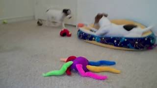 Jack Russell Terrier Playtime