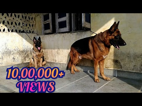 Top quality German Shepherd dogs in India