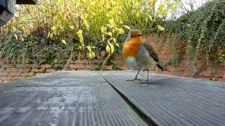 Wee Bob The Robin