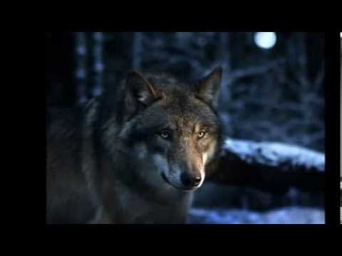 Lobos Las Mejores Imagenes De Los Lobos Wallpaper Youtube