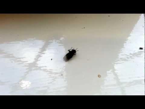 charlie the break dancing fly