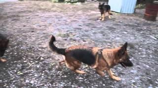 собаки во дворе
