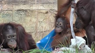 Baby Orangutan LOKI 14 - Plays with toys and can walk more.