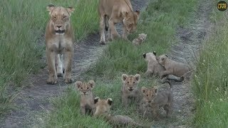 2019 02 16  SafariLIVE -  Seven Lion cubs, cute bundles of joy