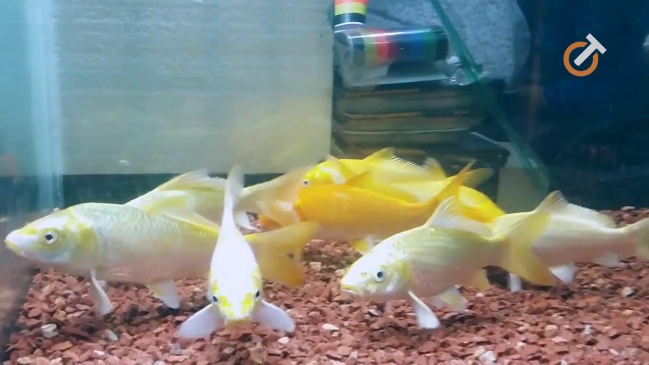Aquarium Fish In Bangladesh এক র য ম ম ছ By