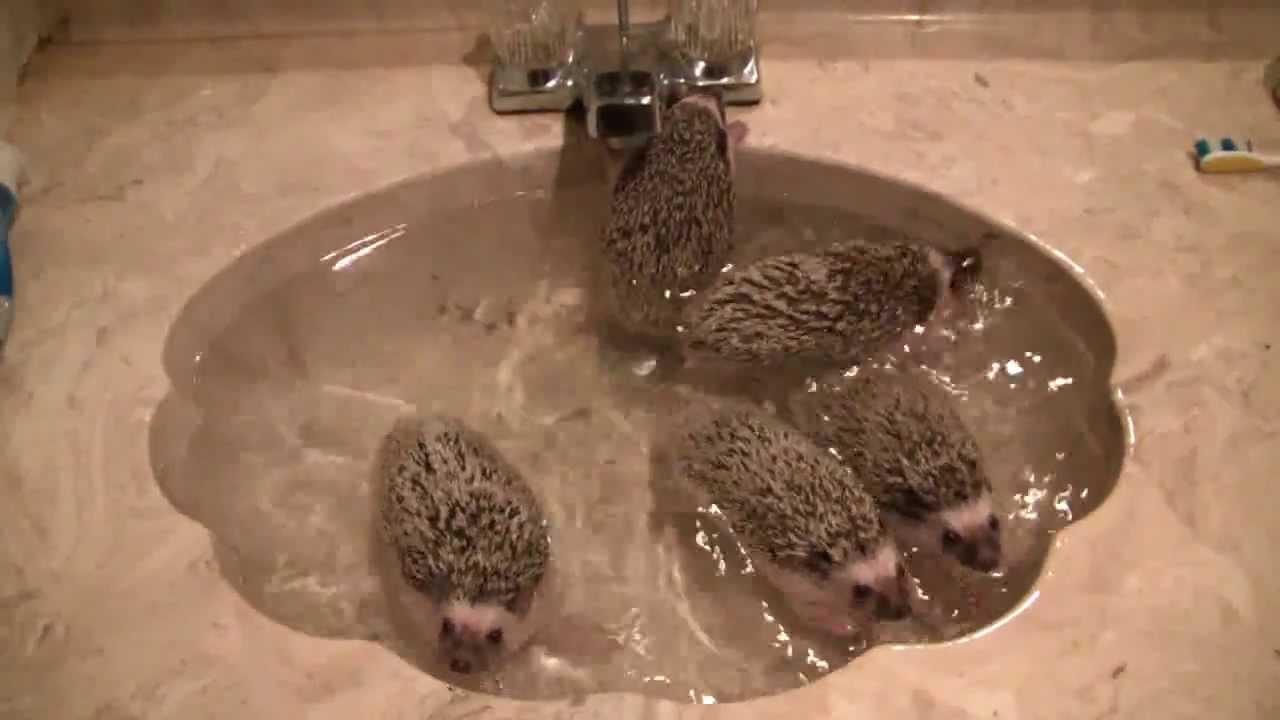 Baby Hedgehogs Taking A Bath YouTube