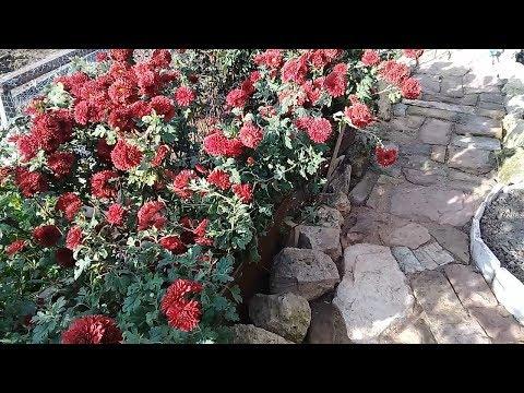 Хризантема ДУБКИ.  Деление куста