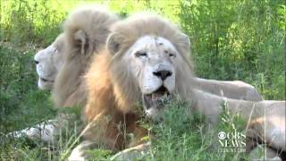 South Africa's White Lions (Full Documentary)
