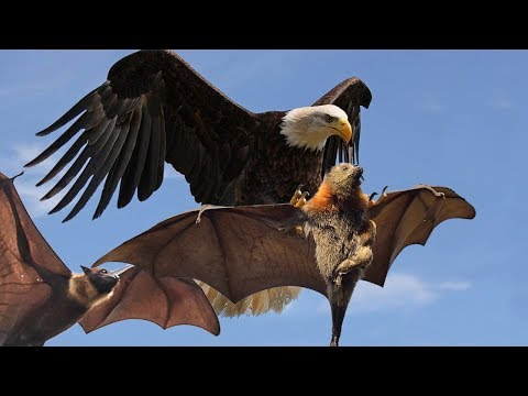 EAGLE VS BATS - EAGLE MEAT BAT PARTY