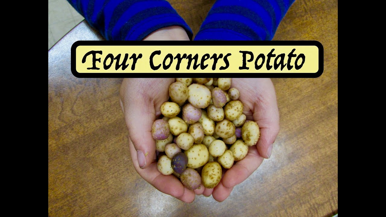 Growing Four Corners Potato - Solanum jamesii - YouTube