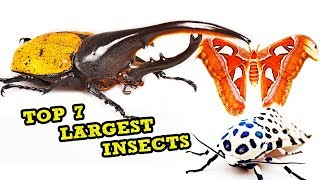 Top 7 Largest Insects