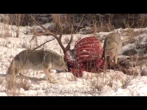 Yellowstone National Park Winter Video Footage