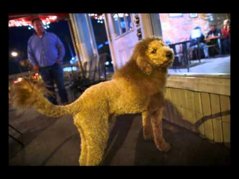 Dog Cut Like Lion