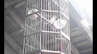 burung sriti gacor by Cz Trick