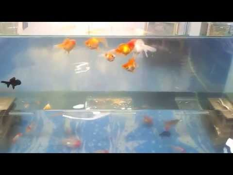 Como acer una pecera invertida doovi for Goldfish en estanque