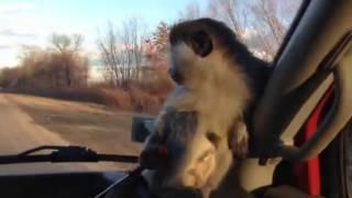 Зеленая мартышка в дороге