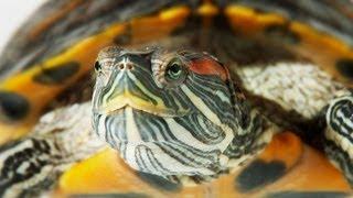 Wie man eine Aquatic Turtle Tank | Pet-Schildkröten