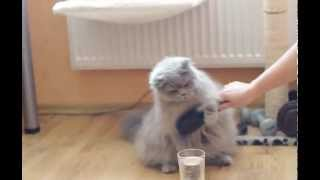 Barbie Salta Nosis* Lt (British Longhair)