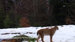 Râs în Parcul Național Piatra Craiului din cadrul Romsilva - Eurasian Lynx in Romania