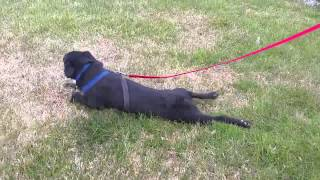 Sammie (patterdale Terrier For Adoption) Dragging Her Belly On The Grass