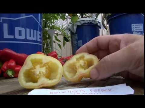 ➪ Douchoua Pepper - Tomato     HOLLOW TOMATO!!!